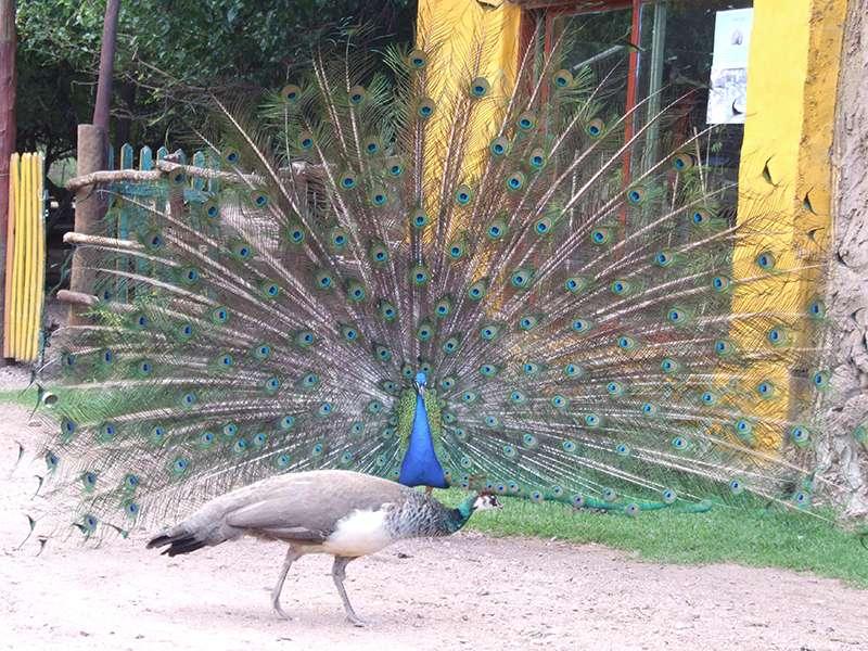 Pfau stolziert im Tierpark