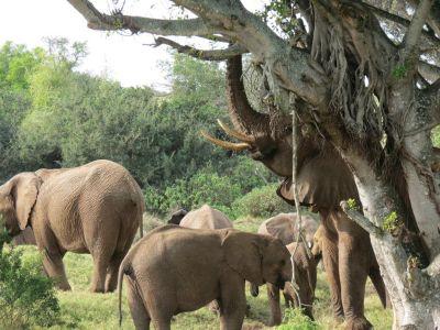 Elephant herd South Africa