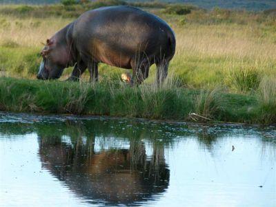 Hippopotamos South Africa