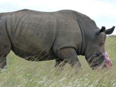 Impressive Rhino South Africa