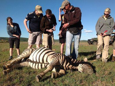 Doped Zebra South Africa