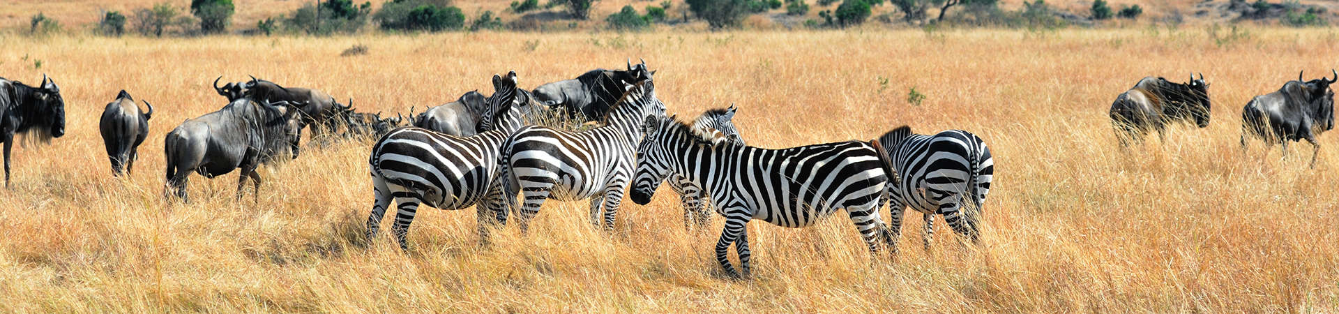 South Africa Zebras Buffalos